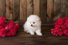 Pouco spitz-dogpuppy de Pomeranian Fotos de Stock Royalty Free