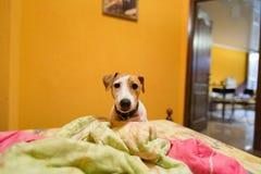 Pouco terrier de russell do jaque na cama Imagens de Stock