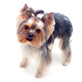 Pouco terrier de yorkshire Foto de Stock Royalty Free