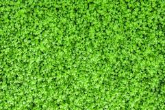 Pouco textura verde das folhas Foto de Stock Royalty Free