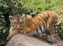 Pouco tigerbaby Imagem de Stock