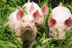 Pouco três porcos no campo no verão Fotos de Stock