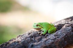 Pouco treefrog Fotografia de Stock Royalty Free