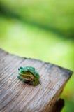 Pouco treefrog Foto de Stock