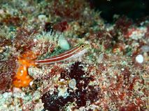 Pouco um peixe tropical pequeno Imagem de Stock