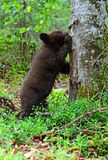 Pouco urso Fotografia de Stock Royalty Free