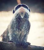 Pouco vista cinzenta do macaco fotografia de stock royalty free