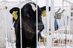 Pouco vitela em uma exploração agrícola de leiteria cultivar foto de stock