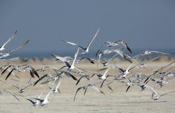 Pouco voo com crista das andorinhas-do-mar Imagens de Stock Royalty Free