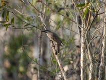 Pouco wattlebird da escova em uma árvore Imagens de Stock Royalty Free