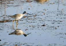 Pouco yellowlegs fotos de stock royalty free