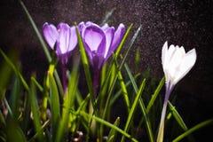 Poucos açafrões na chuva Imagens de Stock Royalty Free