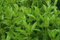 Poucos arbustos do peppermint Imagem de Stock