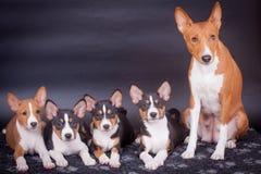 Poucos cachorrinhos de Basenji com a mãe no preto fotos de stock royalty free