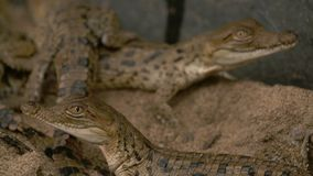 Poucos crocodilos de Orinoco, parque de Wisirare, Colômbia video estoque