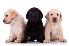 Poucos filhotes de cachorro do retriever de Labrador Fotos de Stock