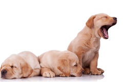 Poucos filhotes de cachorro do retriever de Labrador imagens de stock royalty free