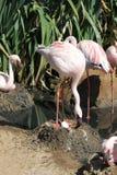 Poucos flamingo & x28; Minor& x29 de Phoeniconaias; Imagens de Stock
