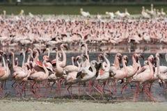 Poucos flamingos no lago Nakuru. fotografia de stock