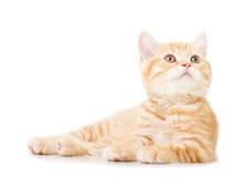 Poucos gatos britânicos do shorthair do gengibre Foto de Stock Royalty Free