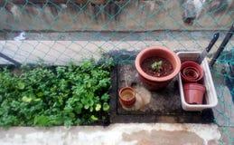 Poucos jardim da hortelã e potenciômetros de jardinagem Fotos de Stock Royalty Free