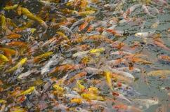 Poucos natação e jogo extravagantes da carpa ou dos peixes do koi na lagoa Imagens de Stock Royalty Free