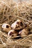 Poucos ovos de codorniz colocados no monte de feno Imagem de Stock