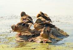 Poucos patos selvagens Fotos de Stock