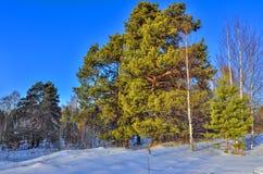 Poucos pinheiros verdes na borda da floresta do inverno Foto de Stock Royalty Free