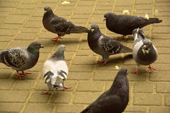 poucos pombos no parque Foto de Stock Royalty Free