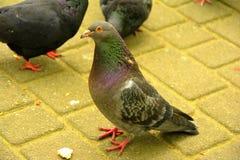 poucos pombos no parque Imagem de Stock