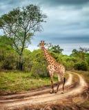 Południe - afrykańska dzika żyrafa Fotografia Stock