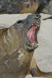 Południowa słoń foka, Mirounga leonina, Obraz Stock