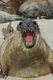 Południowa słoń foka, Mirounga leonina, Fotografia Stock