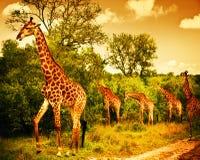 Południowo Afrykański żyrafy Fotografia Royalty Free
