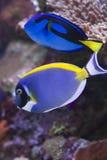 poudre bleue majestueuse Photos libres de droits