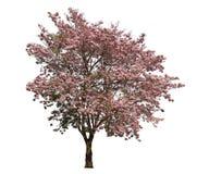 Poui de rose d'arbre de Tabebuia ou fleur de trompette attrayante l'arbre national du Salvador en pleine floraison pendant le pri photographie stock libre de droits