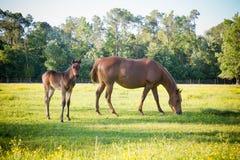 Poulain alerte et pâturage du cheval de mère Photographie stock libre de droits