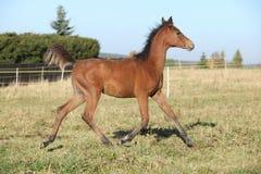 Poulain Arabe parfait de cheval fonctionnant sur le pâturage Image libre de droits