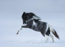 Poulain aux yeux bleus jouant sur le champ de neige Photographie stock libre de droits