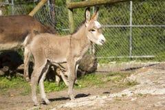 Poulain d'âne de bébé Photos libres de droits