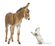 Poulain d'âne de la Provence jouant avec le chat des Anglais Shorthair image stock