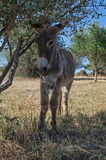 Poulain d'âne sous un olivier photo stock