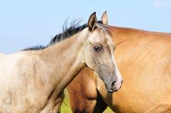 Poulain d'Akhal-teke ayant un repos dans le pâturage les chevaux frôlent derrière Image libre de droits