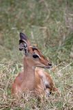 Poulain d'Impala Photos stock