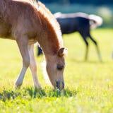 Poulain d'un cheval mangeant l'herbe Photos libres de droits