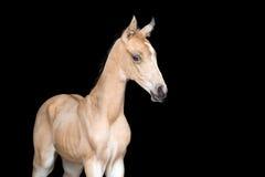 Poulain d'un cheval sur le fond noir Images stock