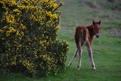 Poulain dans Dartmoor Photos stock