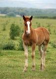 Poulain de cheval de Brown Photo libre de droits