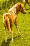 Poulain de cheval de Minnie Photographie stock